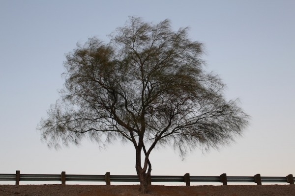 A lonely roadside tree outside of Tucson.